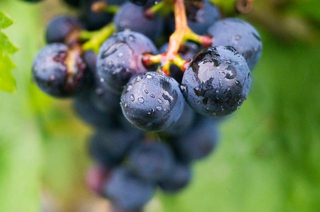 hrozen červeného vína